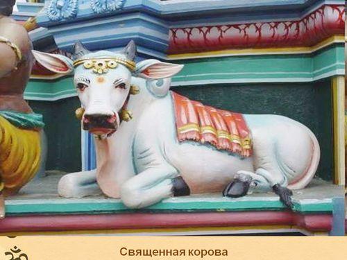 Lyashko-corova1